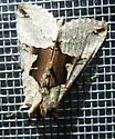 Syngrapha orophila? - Autographa ampla