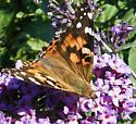 Butterfly - Vanessa cardui