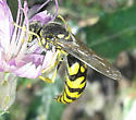 Requesting Hymenoptera ID