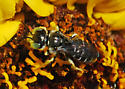 Reality Check: Calliopsis, Female? Right on genus, wrong on gender. - Calliopsis rhodophila - male