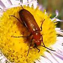 beetle - Nemognatha