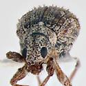 Curculionidae, frontal - Polydrusus americanus