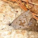 Shy butterfly - Celastrina lucia