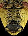 Male, Macrodactylus uniformis? - Macrodactylus - male