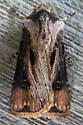 Moth  - Agrotis venerabilis