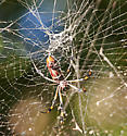 Unknown Orb-weaver - Nephila clavipes