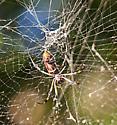 Unknown Orb-weaver - Nephila clavipes