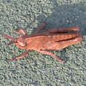 Chortophaga viridifasciata nymph? - Chortophaga viridifasciata - male