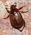 Scarab Beetle - Anomala