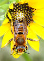 Green-eyed Fuzzy Bee - Megachile
