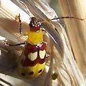 yellow, red, white beetle - Paranapiacaba connexa
