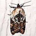 unknown Tortricid - Acleris variegana