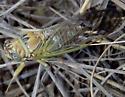 Cicada June 21 - Diceroprocta