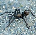 ID for a Tarantula? - Aphonopelma