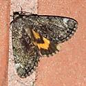 Underwing Moth - Catocala minuta