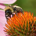 Golden bumblebee - Bombus
