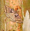 Black bit moth - Celiptera frustulum