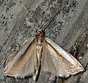 Grass-veneer Moth #1 - Crambus