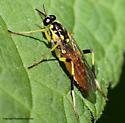 Fly - Xylomya tenthredinoides