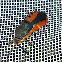 Squash Borer - Melittia cucurbitae