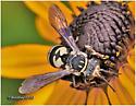 Cuckoo Bee - Triepeolus lunatus