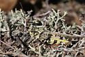 Grasshopper - Spharagemon marmoratum - male
