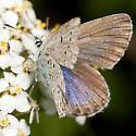 Butterfly or Skipper ? - Plebejus idas - female