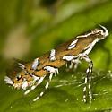 Leaf Blotch Miner Moth - Parectopa