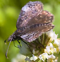 Butterfly, right? No, it's a skipper. - Erynnis icelus - female