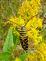Black and yellow striped insect - Megacyllene robiniae