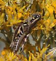Acrididae-Melanoplus pictus ? - Melanoplus lakinus - female