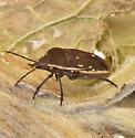 Stink Bug - tachinid fly parasites?