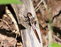 Ladona julia - Chalk-fronted Corporal - Ladona julia - male