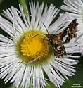 Spotted Thyris - Hodges#6076 (Thyris maculata) - Thyris maculata