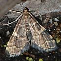 Pyralidae - Anageshna primordialis