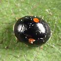 Lady Beetle - Hyperaspis - male
