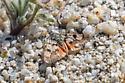 Lepidoptera - Chrismania pictipennalis