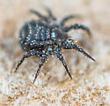 black mite