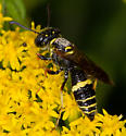 Small Wasp - Philanthus gibbosus