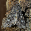Unknown Moth - Apamea amputatrix