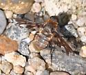 Bee Fly - Exoprosopa fascipennis - female