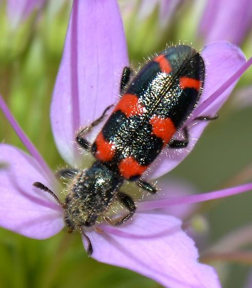 Red-blue Checkered Beetle - Trichodes nuttalli