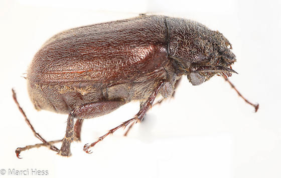 Phyllophaga crenulata