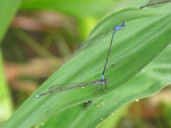 Turquoise Bluet - Enallagma divagans - male - female