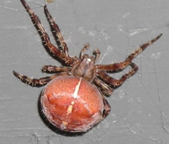 spider-with-white-butt-pictures-big-mexican-cock