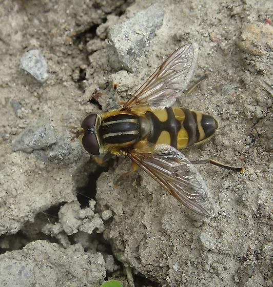 Heliophilus fasciatus? - Helophilus fasciatus - male
