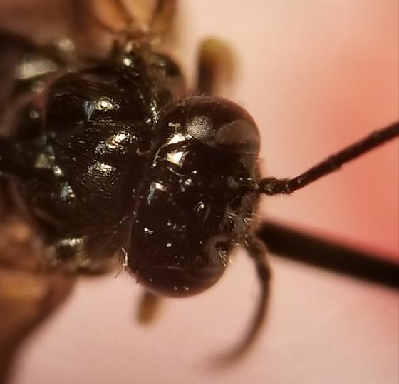 Sawfly?