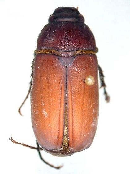 Phyllophaga submucida - male