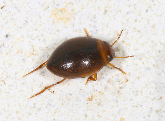 Coleoptera: Dytiscidae: Hygrotus sayi - Hygrotus sayi
