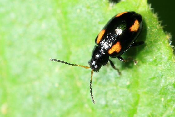 Flea Beetle - Phyllotreta bipustulata